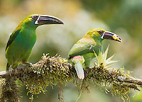 Crimson-rumped toucanets, Aulacorhynchus haematopygus, eating fruit from a feeder at San Jorge Eco-Lodge, Tandayapa Valley, Ecuador