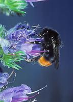Steinhummel, Stein-Hummel, Bombus lapidarius, Pyrobombus lapidarius, Melanobombus lapidarius, Aombus lapidarius, beim Blütenbesuch auf Natternkopf, Nektarsuche, Bestäubung, red-tailed bumble bee, red-tailed bumblebee, le bourdon des pierres, le bourdon lapidaire, le cul-brun