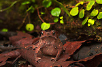 Crested Forest Toad (Bufo margaritifer) in Peruvian Amazon