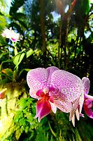 orchid, Orchidaceae sp., Hawaii Tropical Botanical Garden, Hilo, Hawaii, Big Island of Hawaii