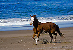 Paint horse running on the beach, Central Coast, California