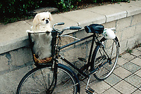 China. Province of Beijing. Beijing. A bicycle and a white pekinese dog in a rack stand near a stone wall.  © 2004 Didier Ruef