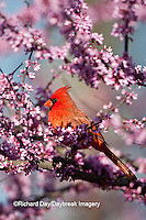 01530-20408 Northern Cardinal (Cardinalis cardinalis) male in Eastern Redbud (Cercis canadensis) in spring, Marion Co., IL