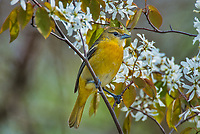 Female Baltimore Oriole (Icterus galbula) in serviceberry bush.  Great Lakes Region.  May.