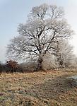Hoar Frost on tree, Sutton, Suffolk, England, January 2009