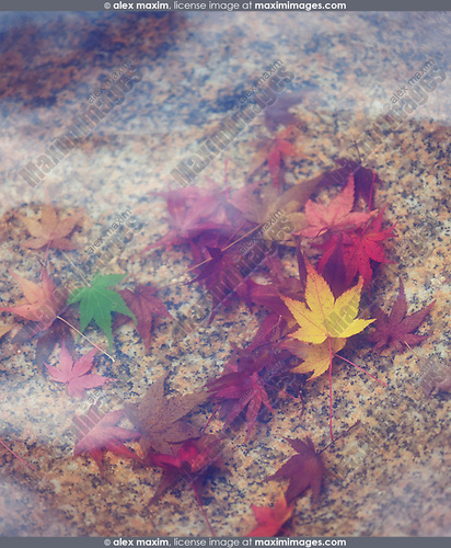 Red autumn Japanese maple leaves in a stone bowl of water in a Japanese garden in Kyoto, Japan, Wabi-Sabi concept, abstract tranquil background Image © MaximImages, License at https://www.maximimages.com
