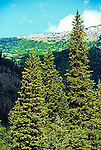evergreen pine trees and mountain side in Glacier National Park Montana USA
