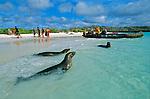 Autant etre prevenu, aux Galapagos l animal est roi et l homme seulement tolere. Les otaries s installent sans vergogne sur les serviettes des baigneurs sur la plage de Gardner Bay