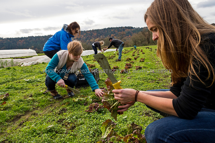 10/30/2013-- Carnation, WA, USA<br /> <br /> Volunteers from  Harvest Against Hunger, organized by Rotary First Harvest (http://firstharvest.org) glean food from Oxbow Farm in Carnation, WA, near Seattle.<br /> <br /> Here: Karen Ullman, 23 (center, back) harvests red butter nut lettuce, with Jody Miesel, 34 (right).<br /> <br /> A lot of food is wasted in America, where 40% of food is thrown away. In an effort to eliminate food waste, local programs enable volunteers to go to farms and glean after a harvest, saving food that would be thrown away or plowed under because it is not in good enough shape to sell.<br /> <br /> A program in Washington pairs gleaning with AmeriCorps volunteers to pick up and distribute the waste. Local volunteers glean crops and transport food to a local food bank or soup kitchen, prep the food, and use it to feed senior citizens or low income communities.<br /> <br /> Photograph by Stuart Isett<br /> &copy;2013 Stuart Isett. All rights reserved.
