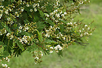 Guaje tree, Leucaena leucocephala, is also known as the white leadtree, the jumbay, the river tamarind, the subabul, and white popinac.  It is native to southern Mexico, Belize and Guatemala. The name Oaxaca is derived from the name of this tree.