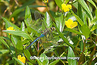 06361-005.06 Common Green Darner (Anax junius) male on Water Primrose (Ludwigia peploides) in wetland Effingham Co. IL