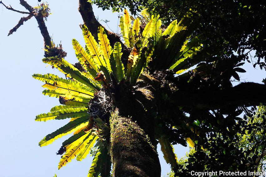 Bird's Nest Fern, Bunya Mountains National Park, Queensland