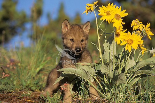Gray wolf pup