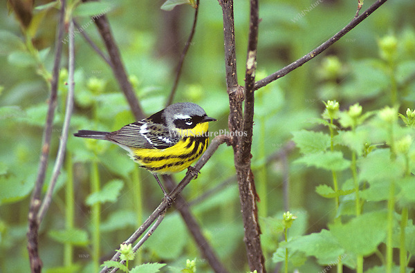 Magnolia Warbler (Dendroica magnolia), male perched on tree branch,  Pt. Pelee, Ontario, Canada