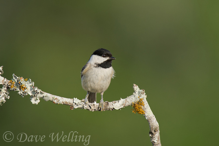 511820013 a wild carolina chickadee poecile carolensis perches on a dead branch on los madrones ranch dripping springs travis county texas united states