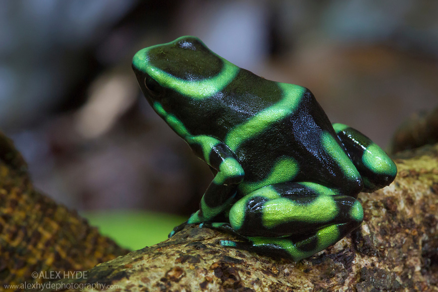 Green and Black Poison Frog {Dendrobates auratus}. Osa Peninsula, Costa Rica. May.