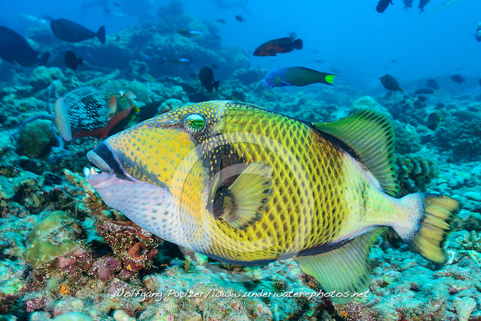 Balistes viridescens, Balistoides viridescens, Gruener Riesen Drueckerfisch, Giant or Titan Driggerfish, Malediven, Indischer Ozean, Baa Atoll, Maldives, Indian Ocean