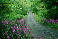 Country road in spring lined with Dames Rocket, Hesperus matronalis