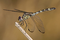 389080004 a wild female black setwing dragonfly dythemis nigrescens perched on a small stick in bentsen rio grande valley state park south texas