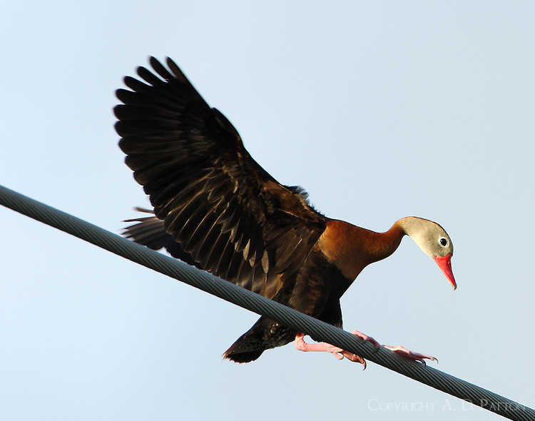 Adult black-bellied whistling-duck landing on power line