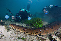 RB7383-D. Green Anaconda (Eunectes murinus), huge 7m (22 feet) long female snake underwater, scuba divers (model released) following and photographing. Brazil, South America.<br /> Photo Copyright &copy; Brandon Cole. All rights reserved worldwide.  www.brandoncole.com