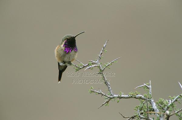 Lucifer Hummingbird, Calothorax lucifer, male, Big Bend National Park, Texas, USA