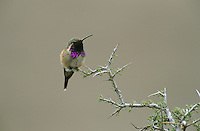 Lucifer Hummingbird, Calothorax lucifer, male, Big Bend National Park, Texas, USA