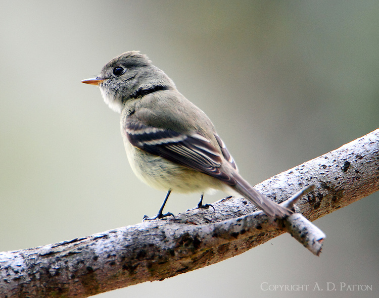 Hammond's flycatcher at Rose Hill Memorial Park in Corpus Christi, TX in February 2011