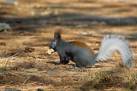 Kaibab Squirrel (Sciurus aberti Kaibabensis) with truffle it has found in ponderosa pine forest.  North Rim Grand Canyon.