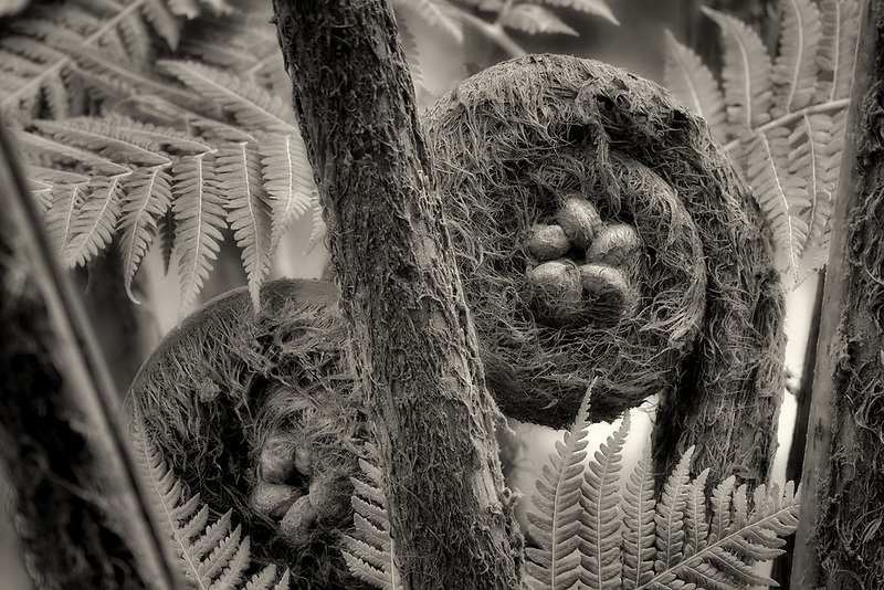 Hapuu Fern frond. Hawaii, The Big Island.