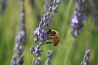 Apis mellifera on lavander flower.