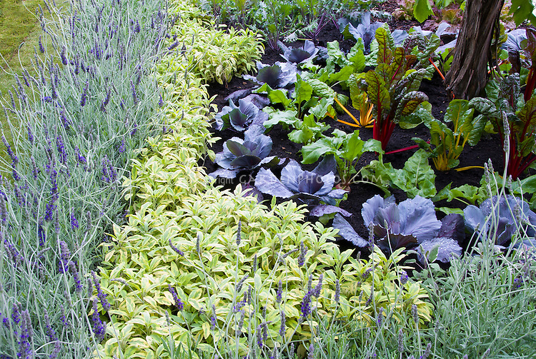 Herbs and vegetables: English lavender Lavandula angustifolia edging, Salvia officinalis Icterina sage, cabbages, rainbow chard