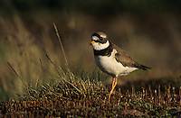 Common Ringed Plover, Charadrius hiaticula, female, Gednjehogda, Norway, June 2001