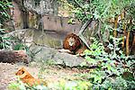 lion,new orleans,audubon zoo