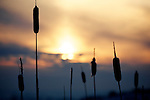 Pix: Shaun Flannery/shaunflanneryphotography.com...COPYRIGHT PICTURE>>SHAUN FLANNERY>01302-570814>>07778315553>>..21st December 2010..............Bullrushes against a winter sky.