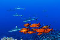 WA0953-D. Crescent-tail Bigeyes (Priacanthus hamrur), and Gray Reef Sharks (Carcharhinus amblyrhynchos). These bright red reef fish can change color to silver, growsto 16 inches long, and are usually seen 50 feet and deeper. French Polynesia, Pacific Ocean. <br /> Photo Copyright &copy; Brandon Cole. All rights reserved worldwide.  www.brandoncole.com