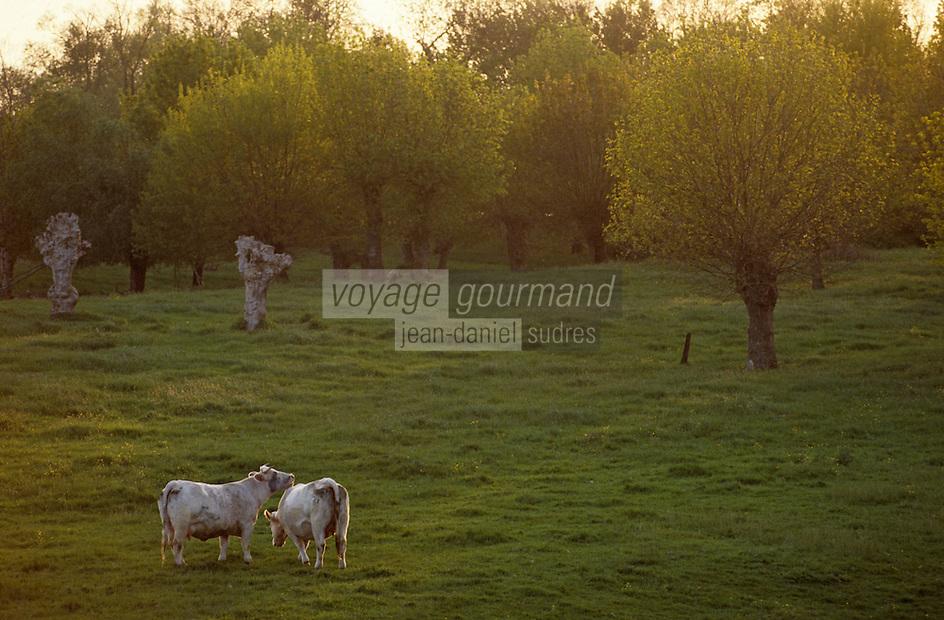 Europe/France/Pays de la Loire/49/Maine-et-Loire/Env Les Rosiers-sur-Loire: Vaches en pâturage