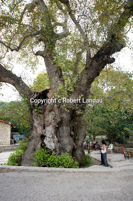 Tree purported to be descended from the cane of Moses in Antakya, Turkey
