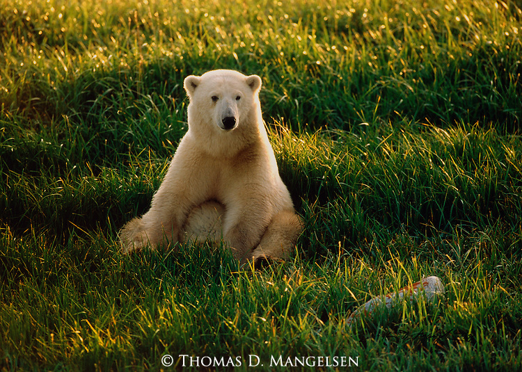 A polar bear sits in grass in Wapusk National Park, Manitoba, Canada.