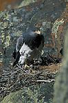 Adult Black Chested Buzzard Eagle in nest ( geranoaeutus melanoleucus ).Torres del Paine National Park, Chile.