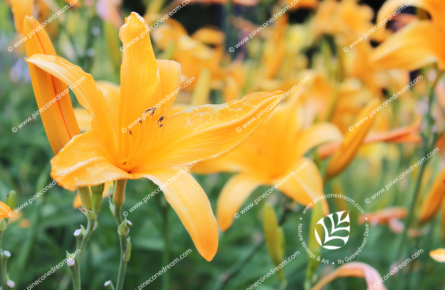 Stock photo: Gorgeous yellow golden day lily flowers in Georgia USA.