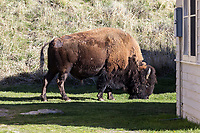 A bison (Bison bison) grazes behind a visitor cabin at Mammoth Hot Springs in Yellowstone National Park
