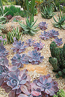 Succulent plant Echeveria 'Afterglow' aka 'After Glow' with mixture of other desert cacti, aloe and agave