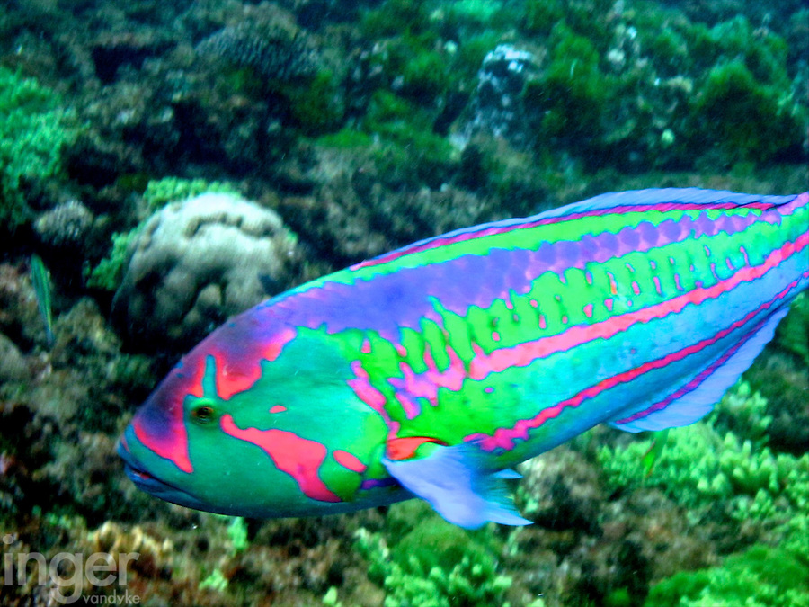 Surge Wrasse at Ned's Beach, Lord Howe Island, New South Wales