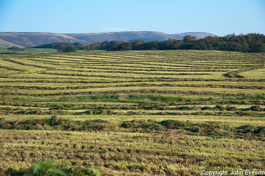 Grass rowed ready for forage harvesting, Chipping, Lancashire.
