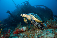 hawksbill sea turtle, Eretmochelys imbricata, swimming past an artifiical reef in Palm Beach, Palm Beach County, Florida, USA, Atlantic Ocean