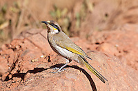 Singing Honeyeater with pollen, Kata Kjuta, NT Outback, Australia