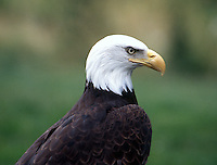 A Northern Bald Eagle at the Woodland Park Zoo in Seattle, WA