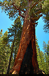 Grizzly Giant Fire Scar, Giant Sequoia, Sequoiadendron giganteum, Mariposa Grove of Giant Sequoias, Yosemite National Park