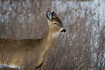 White-tailed deer - doe in winter